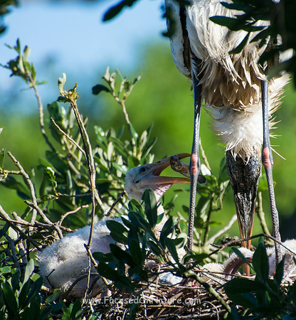 Baby Wood Stork Positioning Fish