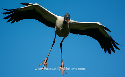 Wood Stork with Landing Gear Down