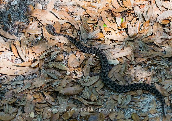 Pygmy Rattlesnake