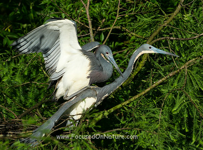 Tricolored Herons Mating