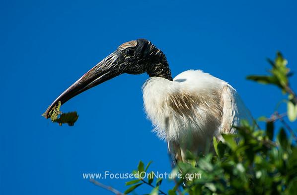 Wood Stork Gathering Nesting Material