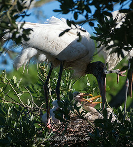Wood Stork with Chicks