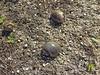 Fla non-birds Apple snails-1586