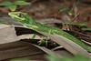 Anole lizard-8731