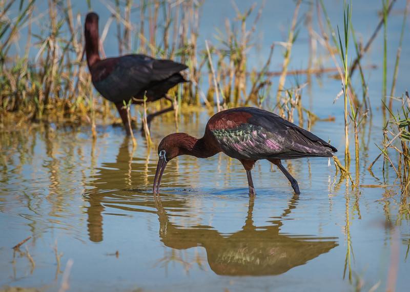 glossy ibis