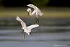 Snowy Egret  battle