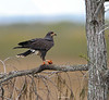 Snail kite with apple Snail in claw