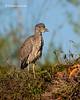 Juvenile Black-crowned Night -Heron