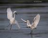 Snowy Egret fight