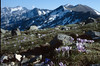 Landscape with Crocus corsica