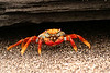 Sally Lightfoot Crab, Puerto Egas, Santiago Island<br /> Copyright 2006 by Christine Chen
