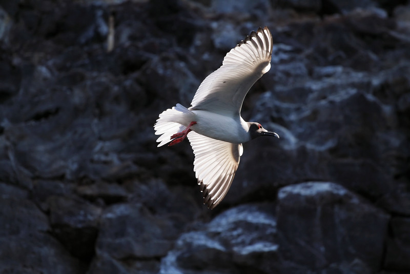 Swallow Tail Gull, Genovesa Island<br /> Copyright 2006 by Christine Chen