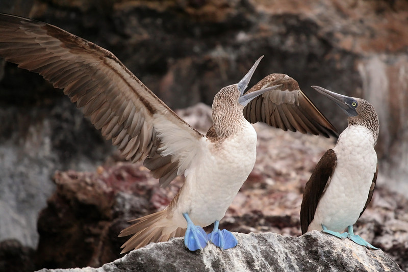 Blue Footed Boobies, Elizabeth Bay, Isabela Island<br /> Copyright 2006 by Christine Chen