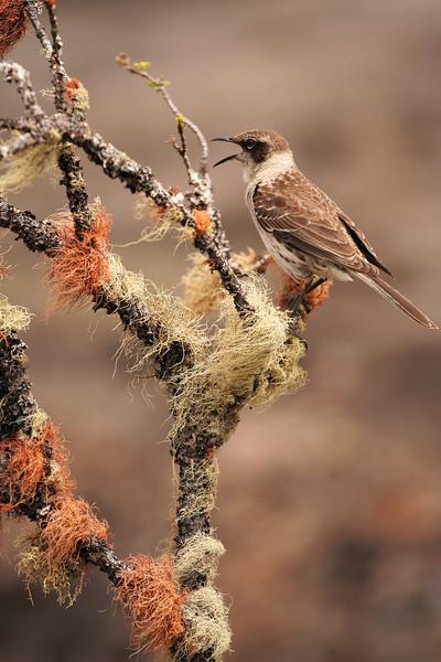 Galapagos Mocking Bird, Sierra Negra Volcano, Isabela Island<br /> Copyright 2006 by Ken Walsh