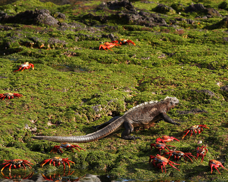 Marine Iguana and Sally Lightfoot Crabs, Punta Espinosa, Fernandina Island<br /> Copyright 2006 by Ken Walsh