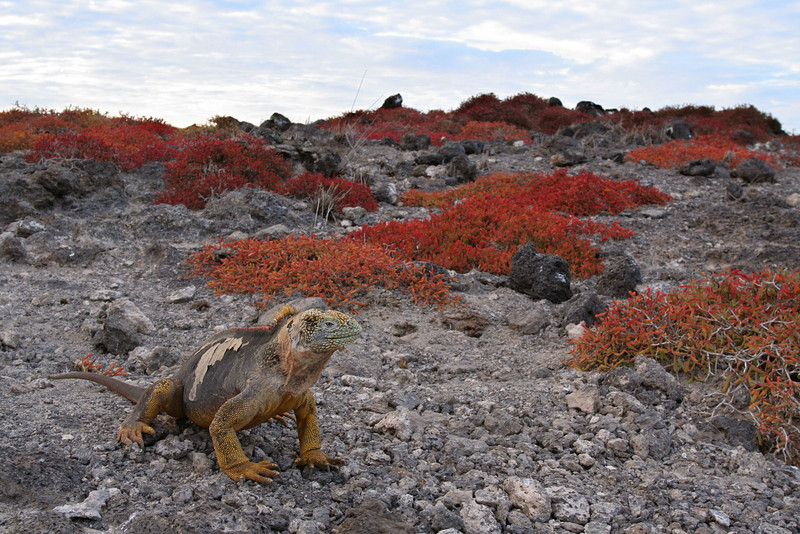 Land Iguana and Sesuvium plants, South Plaza Island<br /> Copyright 2006 by Ken Walsh