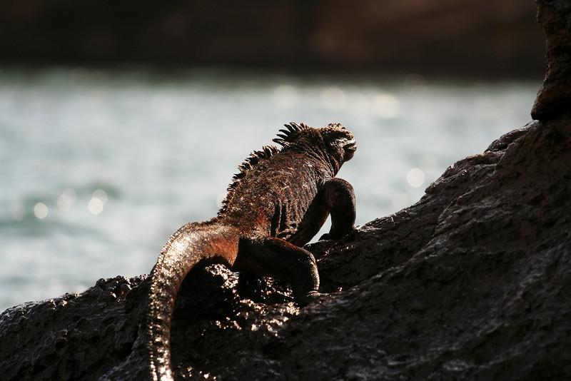 Marine Iguana, Punta Vicente Roca, Isabela Island<br /> Copyright 2006 by Christine Chen