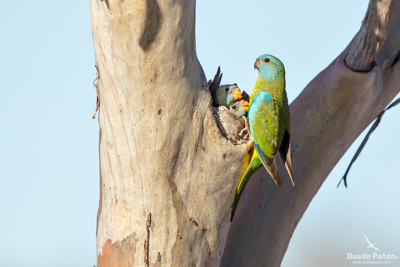 Scarlet-chested Parrot