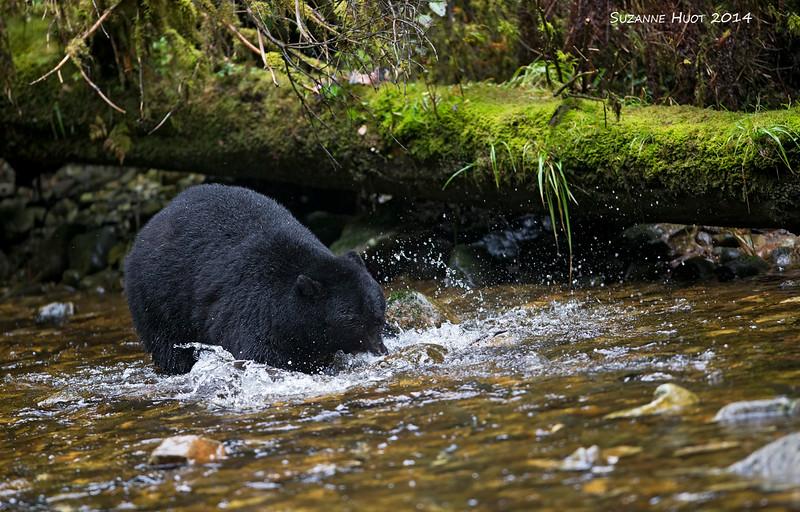 Black bear male fishing.