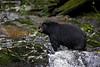 Black Bear Boar.