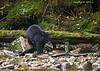 Kermode Bear's black cub.