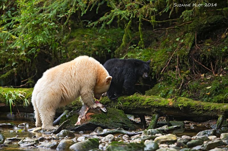 Spirit Bear with cub.