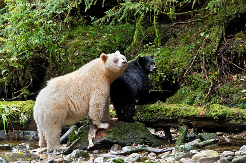 Kermode or spirit Bear with black cub
