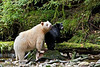 Kermode or spirit Bear with black cub