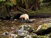 Kermode Bear Salmon stream and habitat