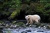 Kermode Bear.