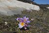 Crocus sieberi  ssp. sublimus, Mount Helmos 2341m, SE of Kalavrita