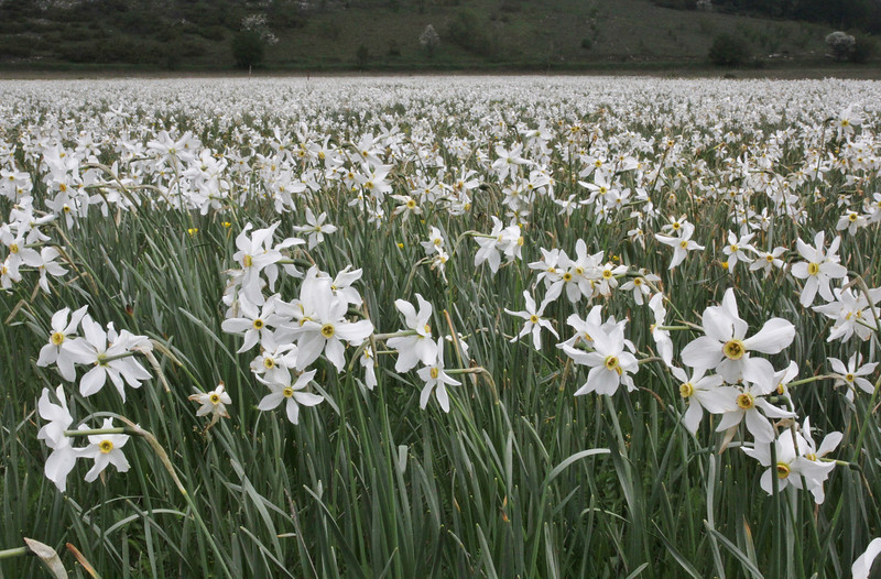 field with Narcissus poeticus, Mount Vermion 2052m (K)
