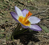 Crocus sieberi  ssp. nivalis, Ascending-Profitis Ilisa 2407m, highest summit, Taigetos mountains v.v. (SW of Sparti)