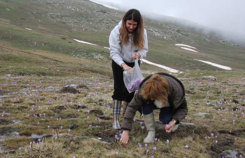 Local women collecting flowers (stamens), Kajmaktcalan, 2521m, near the Macedonian border (L)