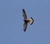 Falco tinnunculus, Kestrel, Arahova-Amfissa
