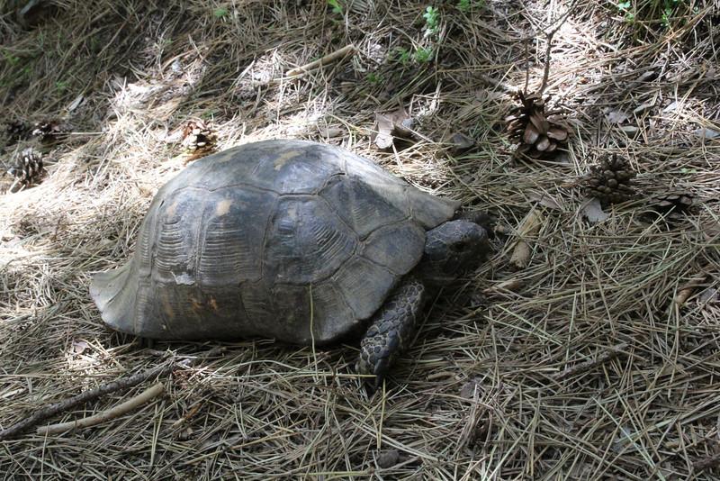 Testudo marginata, Weissinger's Tortoise, (Trailhead near M. Panagias-Profitis Ilisa 2407m highest summit, Taigetos mountains v.v. (SW of Sparti)