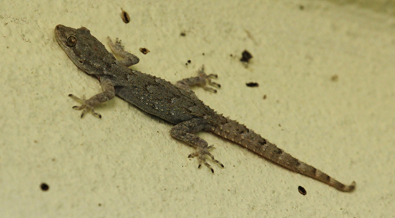 Tarentola mauritanica, Moorish gecko, Mistras, near Sparti