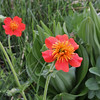 Geum coccineum, 1000m, Kajmaktcalan, 2521m, near the Macedonian border (L)