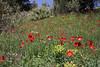 Anemone pavonina var. pavonina, Pass, Mistra-Artemisia, W of Sparti