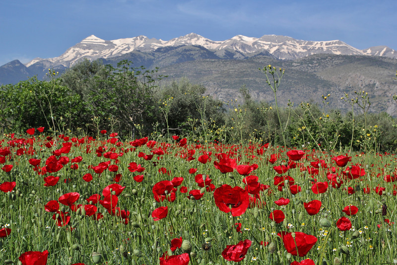 Papaver rhoeas, view at the Taigetos mountains,between Paleopanagia and Anogia, S of Sparti