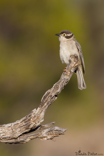 Brown-headed Honeyeater