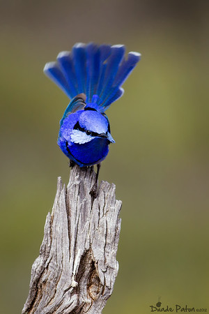 Splendid Fairy-wren
