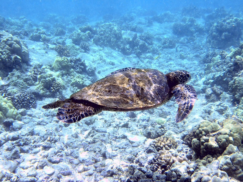 A sea turtle cruises past while we are snorkeling.