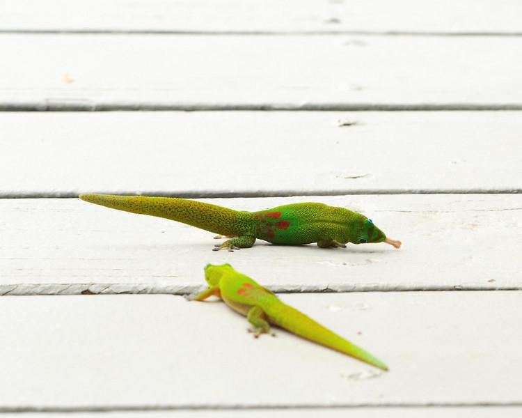 A gecko struts.