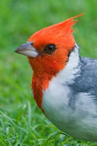 Cardinal - Red-crested - Kapiolani Park - Waikiki - Oahu, HI