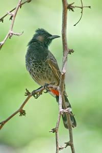 Bulbul - Red-vented - Kapiolani Park - Waikiki - Oahu - HI
