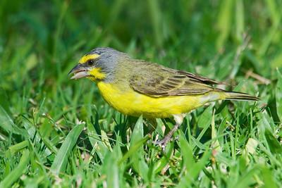 Canary - Yellow-fronted - Kapiolani Park - Waikiki - Oahu, HI