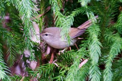 Bush-Warbler - Japanese - (Cettia diaphone) - Hosmer Grove - Haleakala National Park - Maui, HI