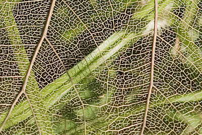 Lacy Leaf - (close) - Kapiolani Park - Waikiki - Oahu, HI