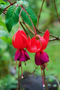 Fuchsia - Kula Botanical Garden - Maui, HI